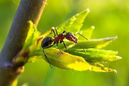 Les fourmis : une nécessité pour l'écosystème français
