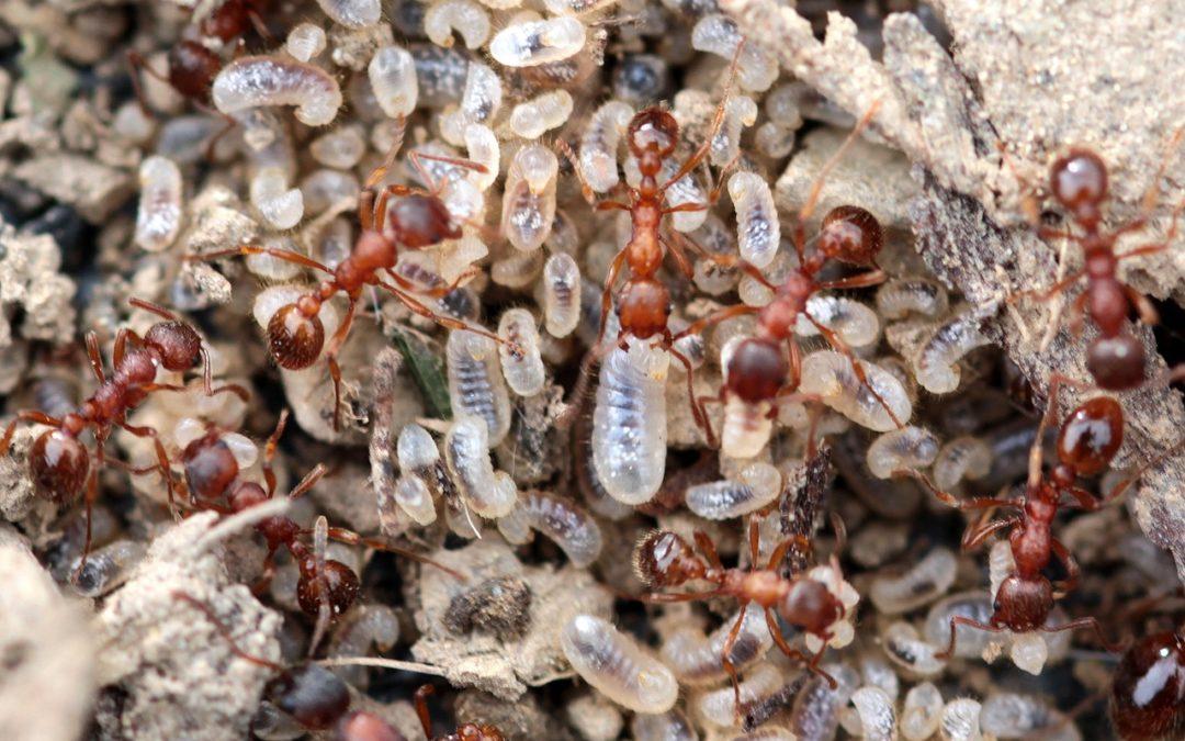 Pourquoi les fourmis s'évadent ?
