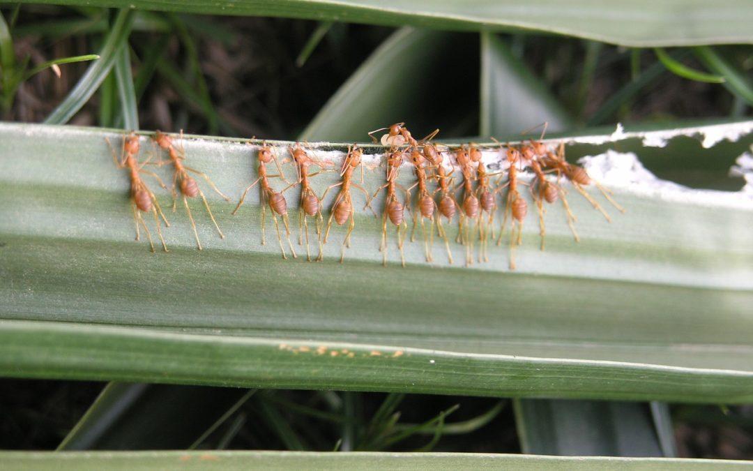 fourmis exotiques tisserandes