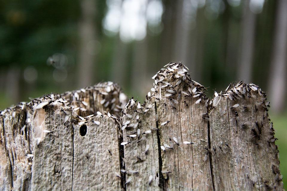 Mais pourquoi des fourmis volantes ?!