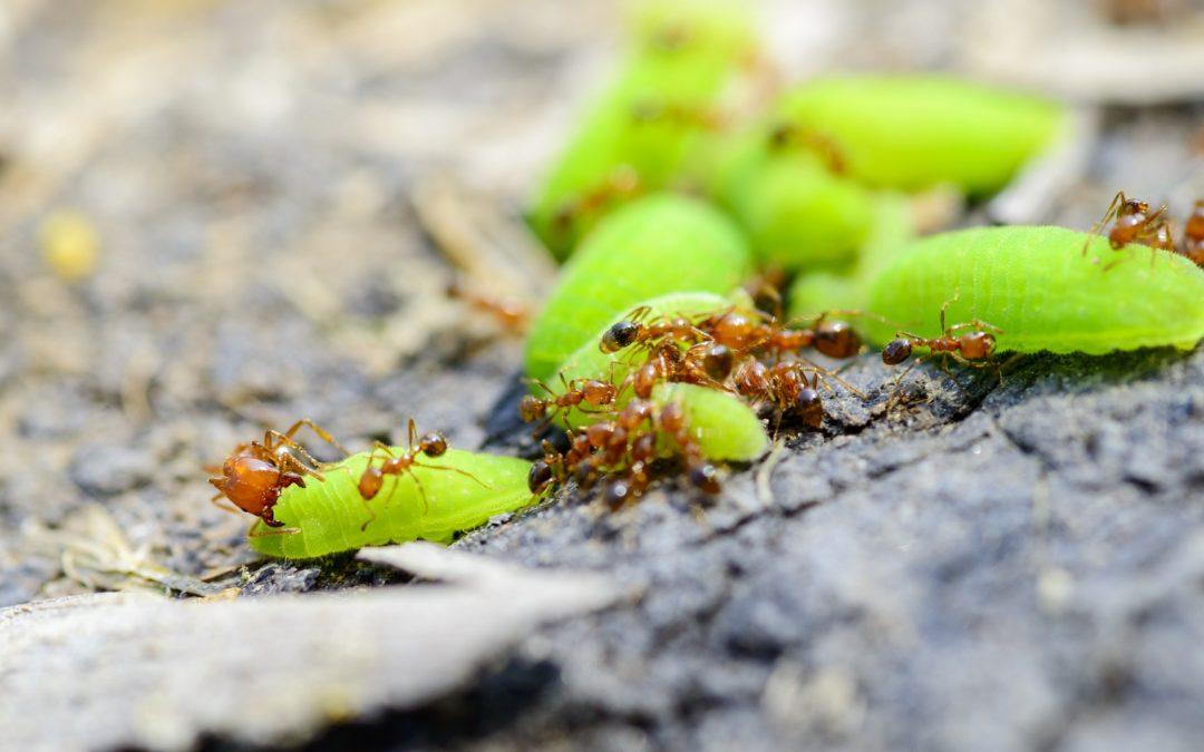 Les fourmis, nuisibles ou utiles ?