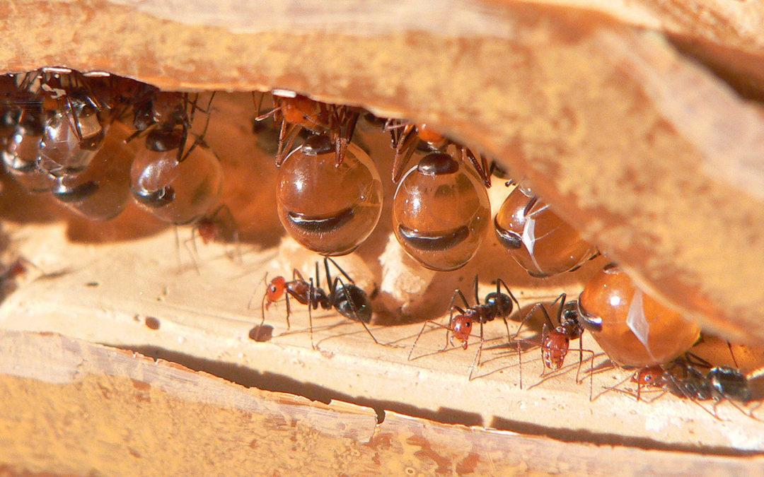 Les fourmis «pot de miel»