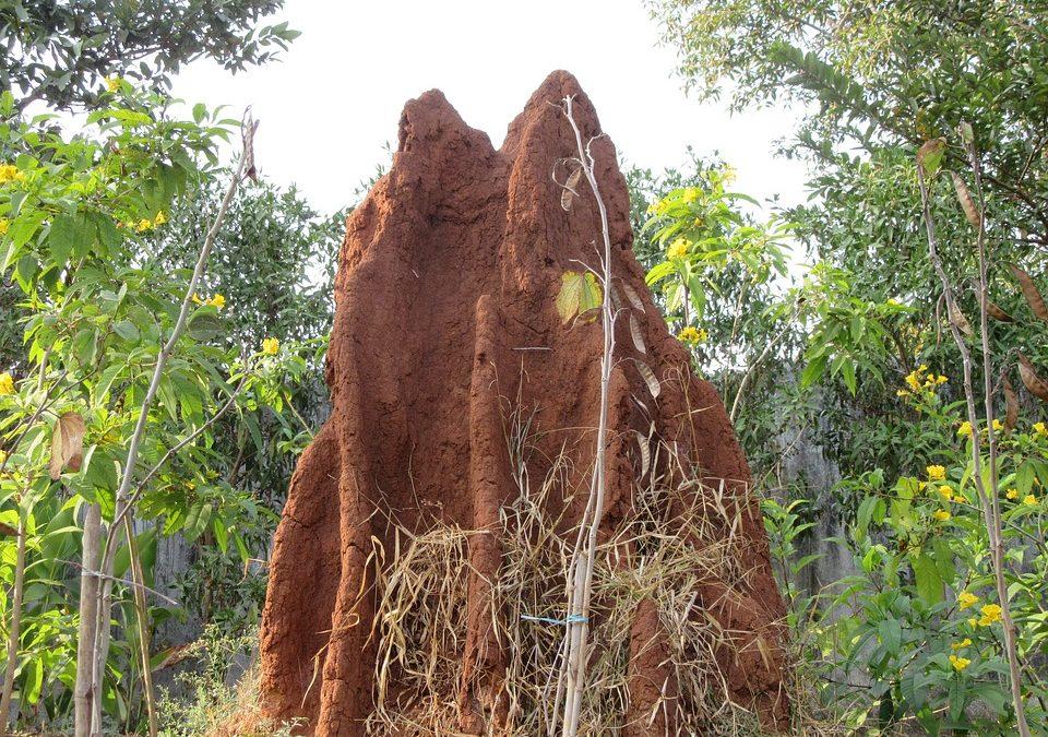 Fourmis ou termites ?