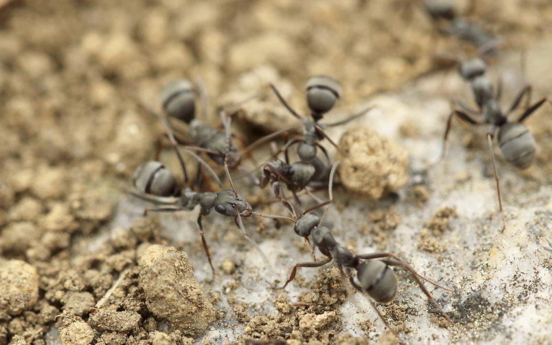 les fourmis communiquent