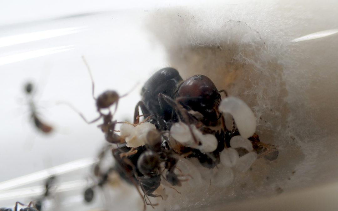 Pourquoi nous ne vendons plus de fourmis sans nid ?