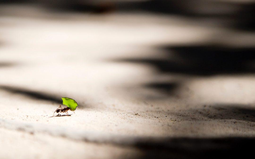La force des fourmis : des cargaisons insensées ?