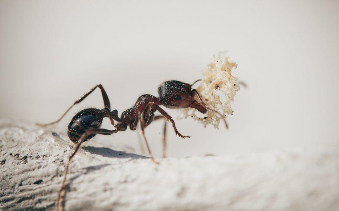 Comment les fourmis font-elles pour se nourrir ?