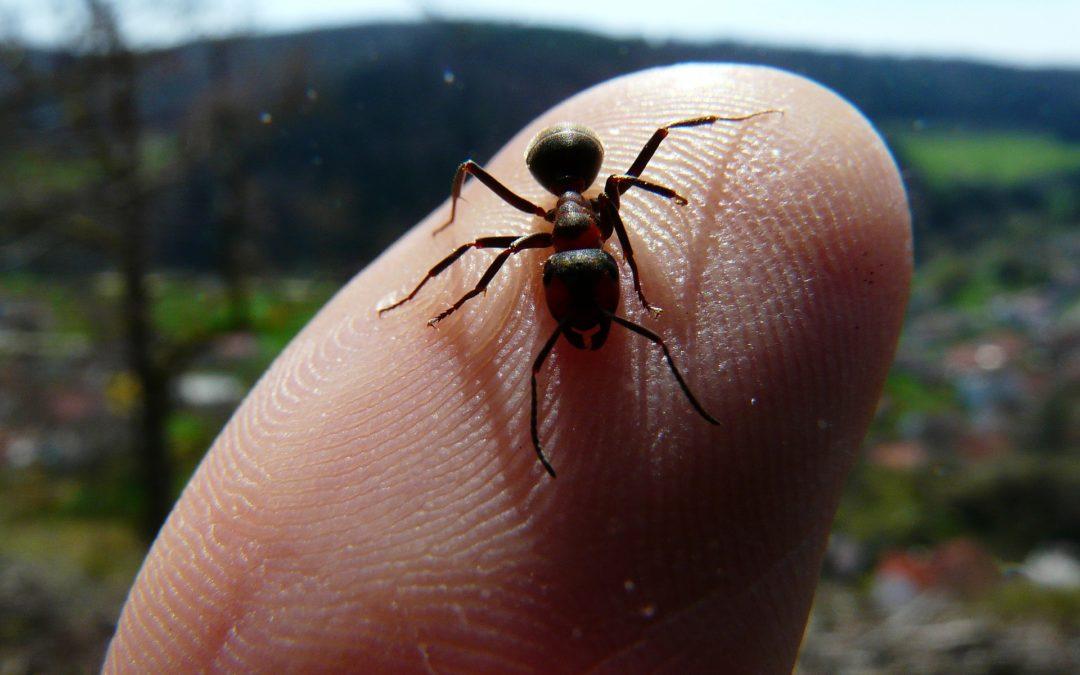 Pourquoi les fourmis piquent ?