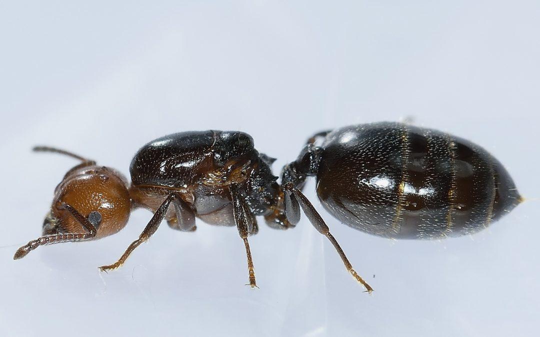 Comment se passe une colonie de fourmis sans reine ?
