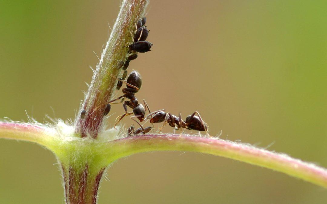 Fourmis et pucerons : un bel exemple de mutualisme