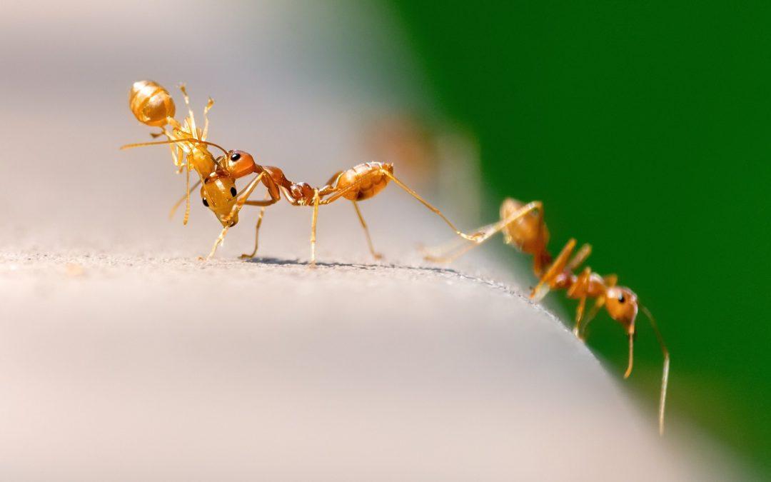 Les fourmis : représentations de départ