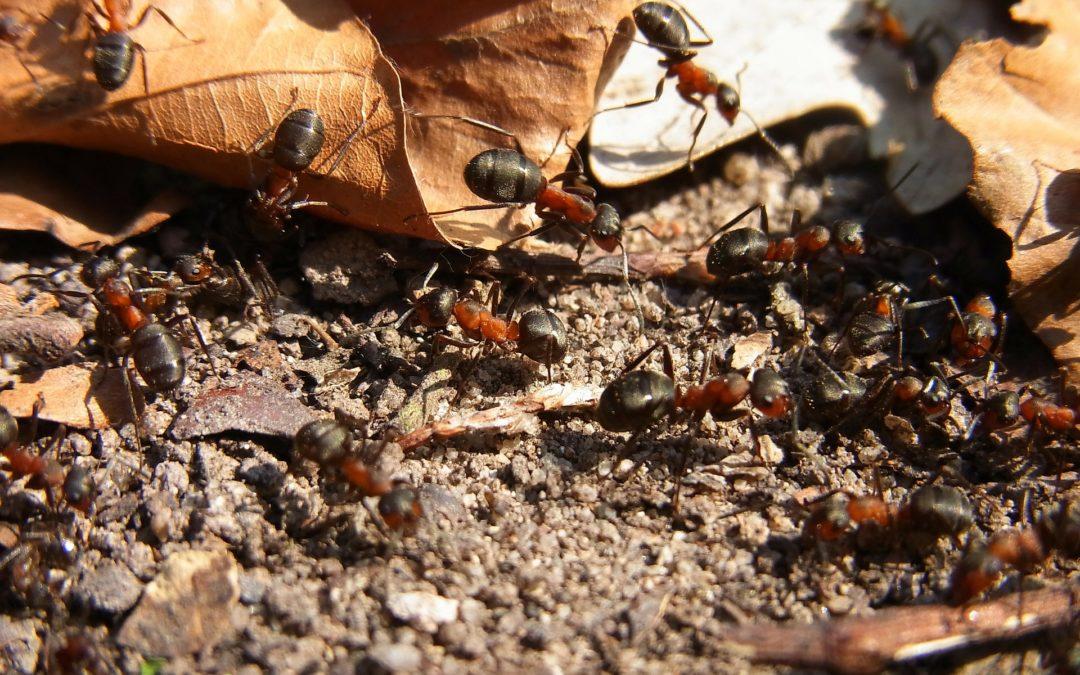 Le pillage de fourmis : à éviter !