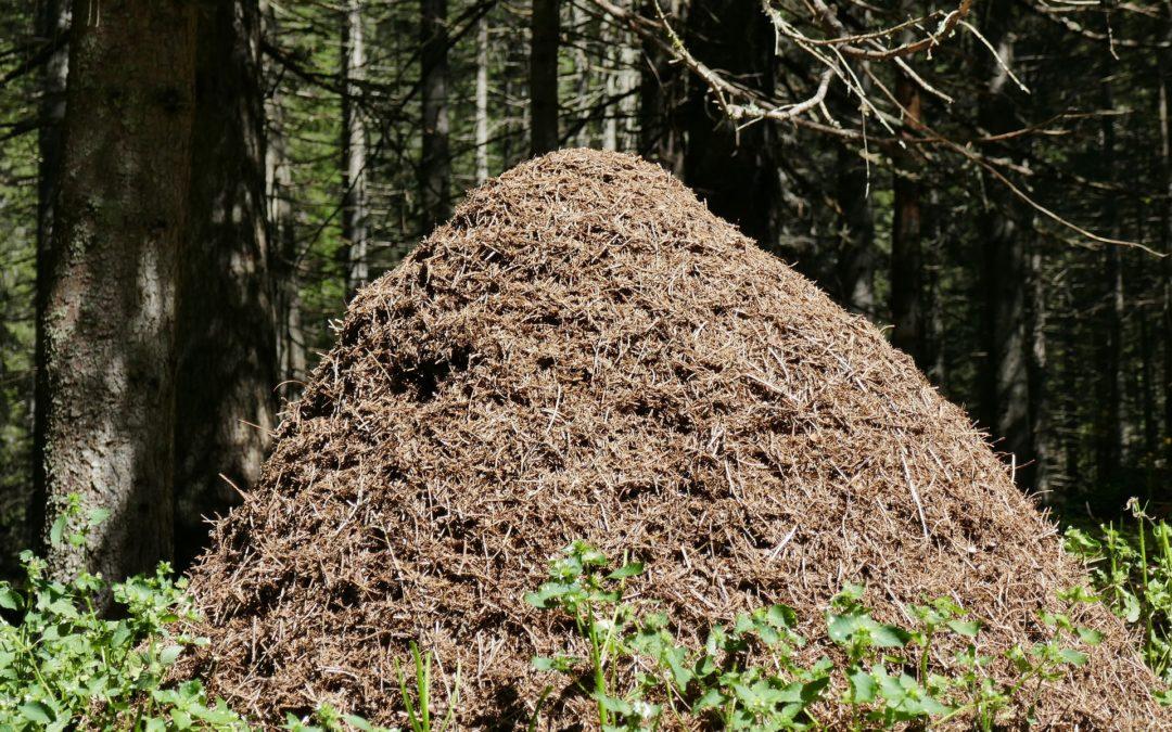 Alveo fonda Myrmica : un nid spécial